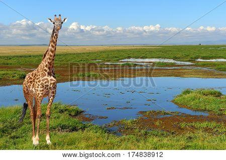 Close Giraffe In National Park Of Kenya