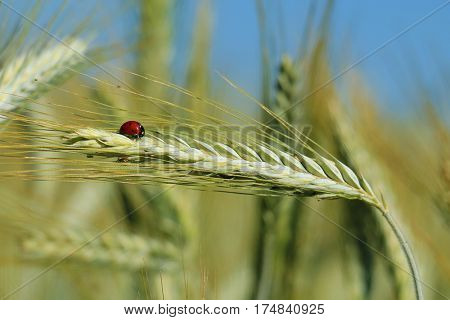little ladybug on a stalk of wheat in the field.
