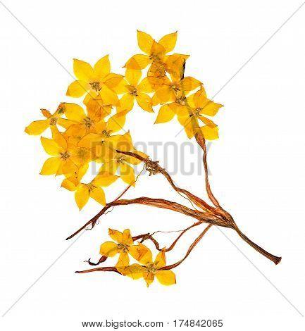 Pressed And Dried Flowers Celandine Blossom