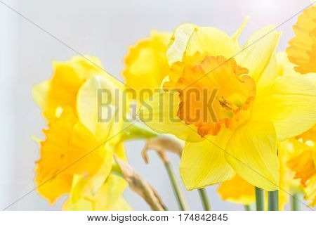 Bouquet of yellow spring daffodils backlit on a gray background close up. Selective focus