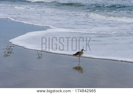 A Willet and Three Sand Pipers on the Beach