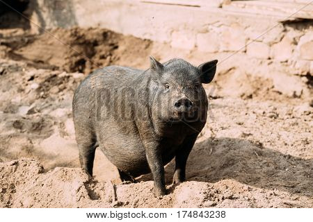 Household A Large Black Pig In Farm. Pig Farming Is Raising And Breeding Of Domestic Pigs. It Is A Branch Of Animal Husbandry. Pigs Are Raised Principally As Food, pork, Bacon, Gammon.
