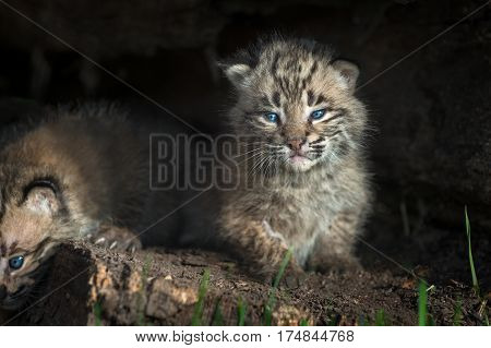 Bobcat Kitten (Lynx rufus) Stares Out from Within Log