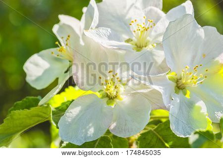 White apple blossoms on a background of blurred green foliage in spring garden close-up