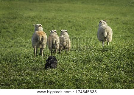 Sheep Dog Runs Waits for Command - at herding trial