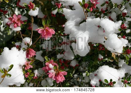 An azalea bush blooming with beautiful deep pink flowers is covered in melting snow on a sunny spring day