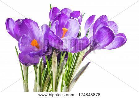 Crocus Flowers Isolated