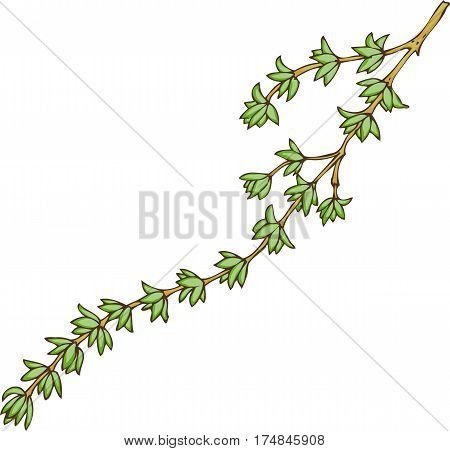 Fresh Green Thyme. Hand Drawn Illustration. Isolated on a White
