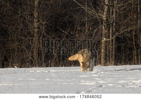 Grey Wolf (Canis lupus) Sniffs in Snowy Field - captive animal