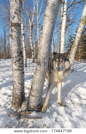 Grey Wolf (Canis lupus) Stands Behind Trees Ears Back - captive animal