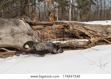 Silver Fox (Vulpes vulpes) Runs Right Past Log - captive animal