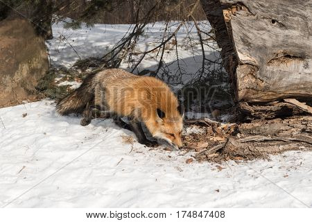 Amber Phase Red Fox (Vulpes vulpes) Sniffs Along Ground - captive animal