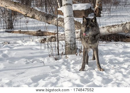 Black Phase Grey Wolf (Canis lupus) Licks Nose Looking Left - captive animal
