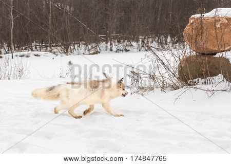 Red Marble Fox (Vulpes vulpes) Trots Right - captive animal