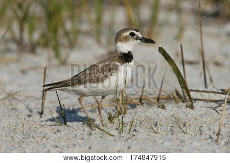A Wilson's Plover Charadrius wilsonia walking on sand among seashore vegetation