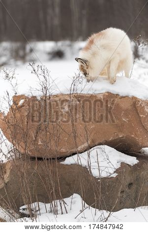 Red Marble Fox (Vulpes vulpes) Sniffs Atop Rock - captive animal