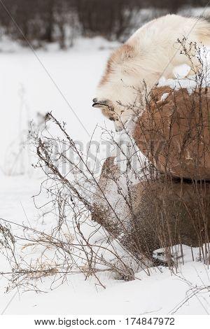 Red Marble Fox (Vulpes vulpes) Knocks Snow Off Rock