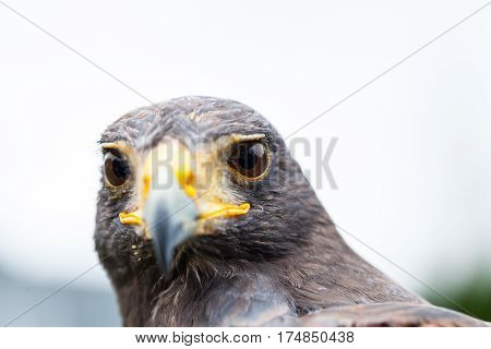 Close up photo of a Harris's hawk (parabuteo unicinctus)