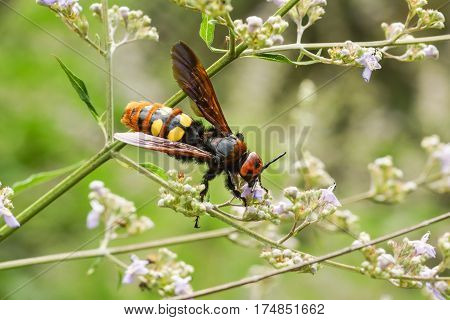 The adult (imago) Scola giant or a giant or a spotted (lat. Megascolia maculata = lat. Scolia maculata) is a species of large wasps from the family of skoli. The largest representative of the family and of the entire order Hymenoptera in the fauna of Euro
