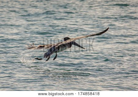 Brown Pelican (pelecanus Occidentalis) In Miami Beach