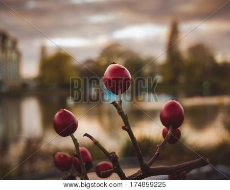 Red berries on their stem taken at Kingston riverside during fall.