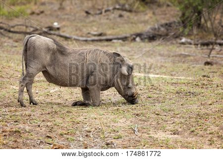A warthog grazes on fresh green grass shoots in Kruger National Park, South Africa.
