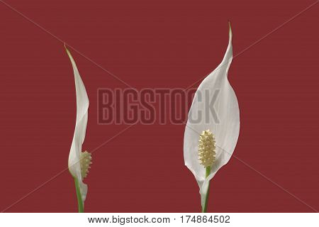 two flowers of peace lily houseplant on red background