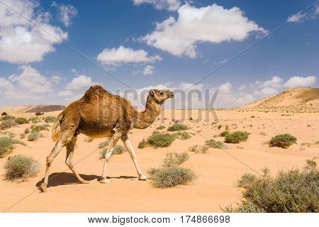 A dromedary camel pass by in the desert near the Wadi Draa in the area of Tan Tan, Morocco.