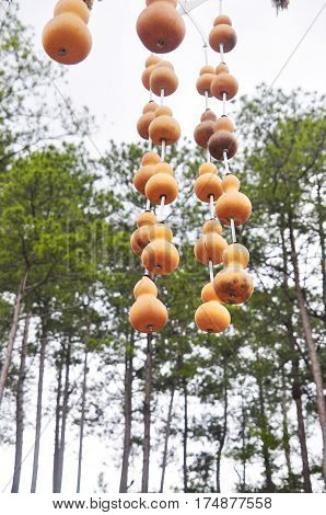 Wine gourd hanging on a dried tree