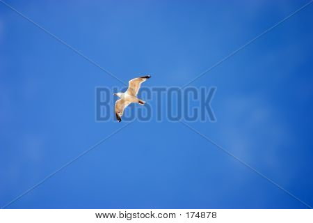 Flying Seagul