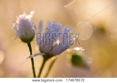 Daisy Flowers With Dewdrops In Morning Light