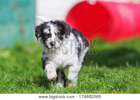 Australian Shepherd Puppy Runs On The Lawn