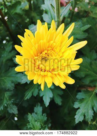 Yellow Daisy, Chrysanthemum, Tansy Flower In Spring