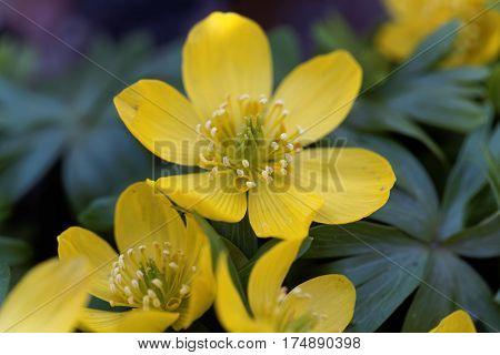 Yellow flowers of winter aconite (Eranthis hyemalis). poster