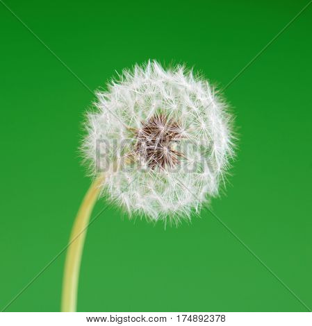 Dandelion flower on green background. One object isolated. Spring concept.
