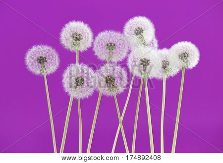 Dandelion flower on pink color background, object on blank space backdrop, nature and spring season concept.