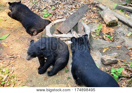 Motion Of Asian Black Bear Relax At Forest In Luang Prabang, Laos