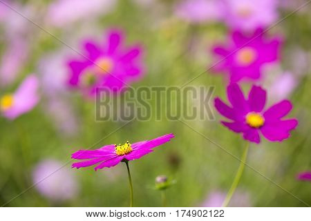 Deep pink cosmos flower in front of unfocused flowers