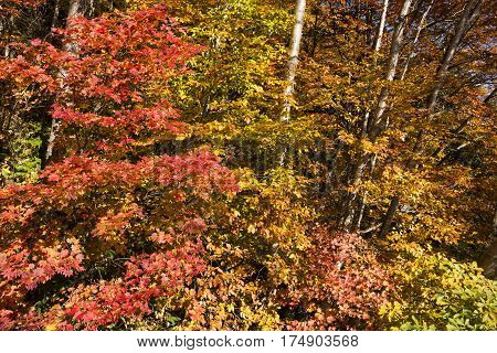Autumn red fullmoon maple leaves(Acer japonicum) in Matsumoto, Nagano