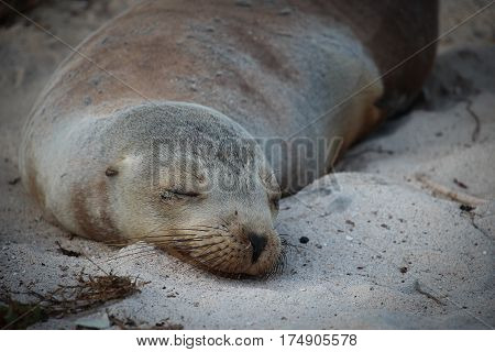 Closeup of snoozing sea lion on sandy beach on Genovesa Island in the Galapagos, Ecuador
