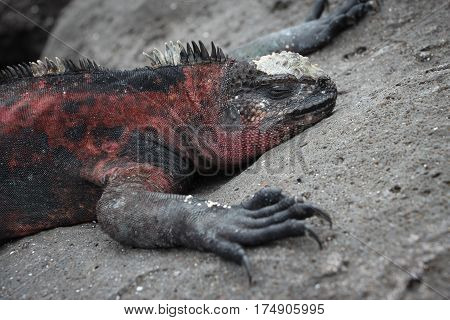 Large male marine iguana in breeding colors (red and black) sleeping on a rock in the Galapagos Islands.