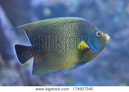 Semicircle angelfish (Pomacanthus semicirculatus), also known as the Koran angelfish.