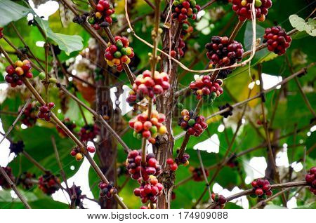 Unripe Coffee Beans On Coffee Tree In Garden At Bolaven Plateau
