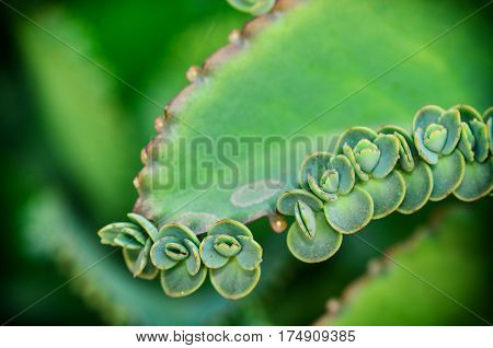 Close up Beautiful young green Kalanchoe pinnata plant