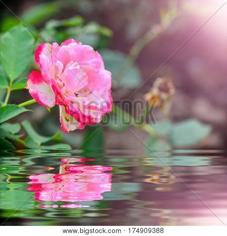 Before the fall rose in the garden with reflection
