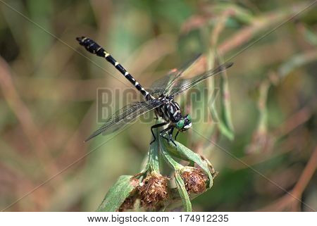 The old man's dragonfly having a tail European, Onychogomphus forcipatus, a female sits on a blade in a profile. Macrofilming. Observations of the wild nature.