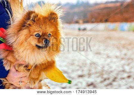 Spitz, dog, doggy sitting on her hands on the beach and looking away