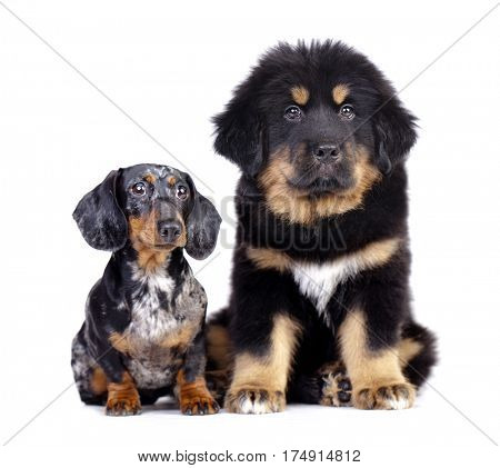 Big and small dog, dachshund and Tibetan mastiff