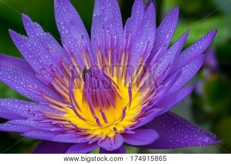 Close-up flower. A beautiful purple waterlily or lotus flower with bee