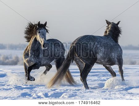 Dancing Andalusian horses. Two Spanish gray stallions playing together on winter field